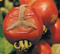 Серая гниль томата