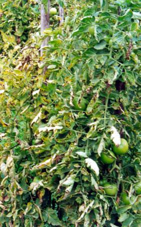 бактериальная пятнистость томата
