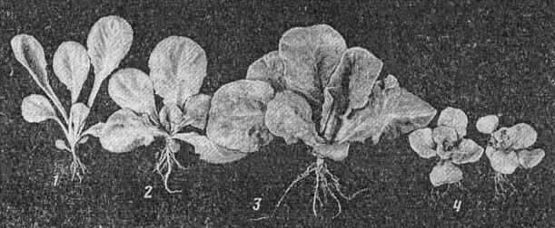 Рис. 3. Растения салата, выращенные при интенсивностях света (Вт/м2 ФАР): 30 (1), 80 (2), 200 (3) и 420 (4)