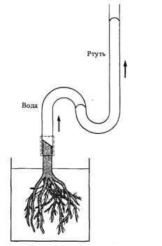 Демонстрация корневого давления в срезанном основании растения.Демонстрация корневого давления в срезанном основании растения.