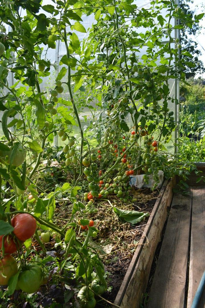 Рассада томатов, полезные советы