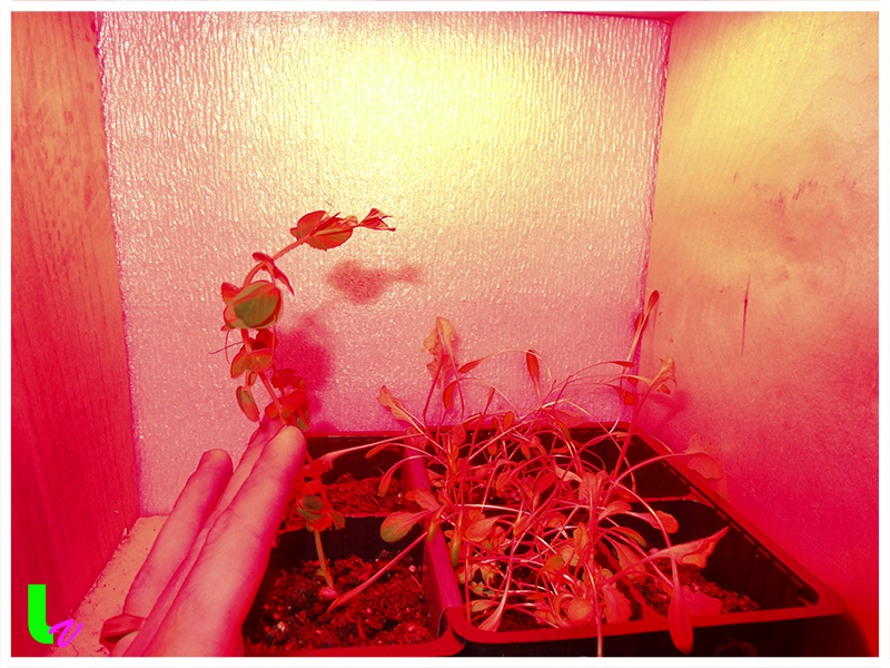 Влияние красного спектра освещения на развитие растений