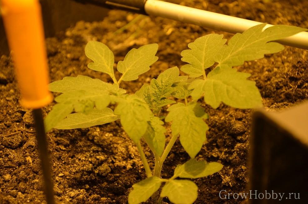 двух недельная рассада томата