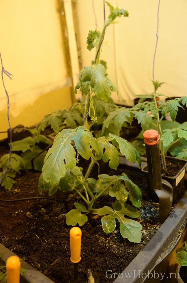 Овощной GrowHobby Report арбуз