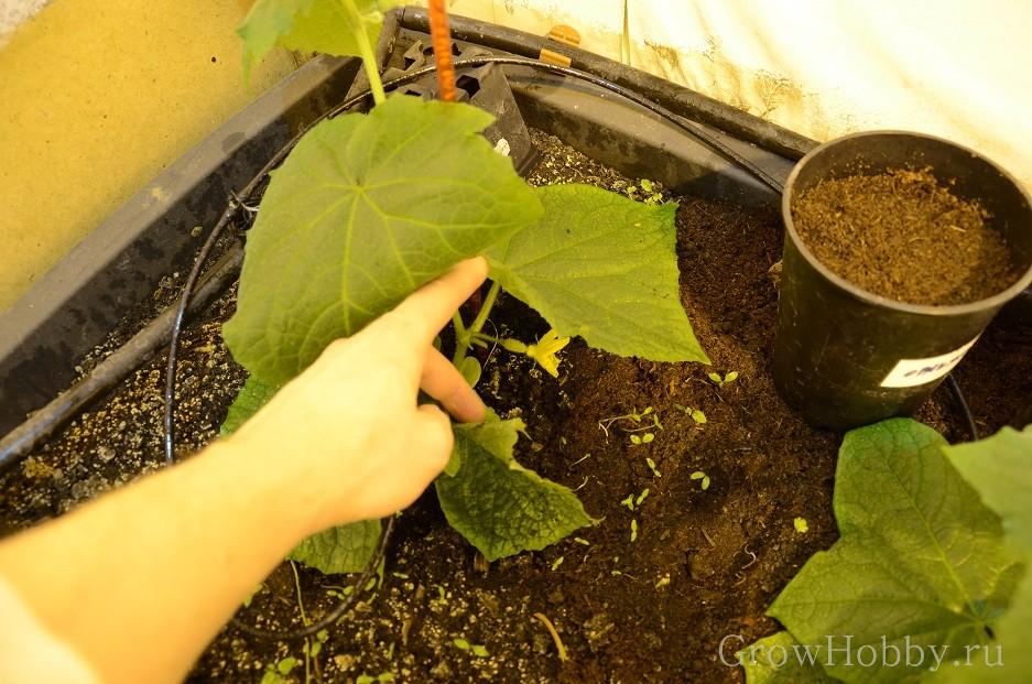 Овощной GrowHobby Report огурцы